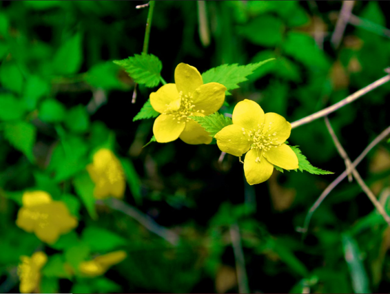 Two yellow flowers with five petals each, attached by leaves and hanging from a single stem in the air. Greenery and more flowers in the background.