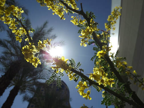 The sun shining around a tree branch with yellow blossoms. Tall buildings and palm trees in the background.