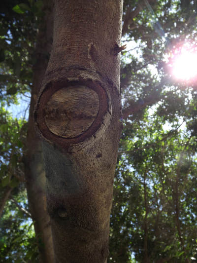 The trunk of a tree, with a flat patch where a branch has been removed. The hole is round like an eye, with leaves and the sun in the background.